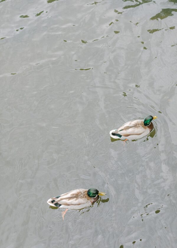 London Ducks