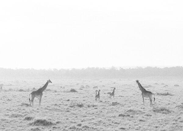 Sunrise Giraffe - Masai Mara, Kenya - Holly Clark Editions