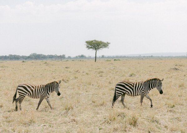 Zebra Crossing - Holly Clark Editions