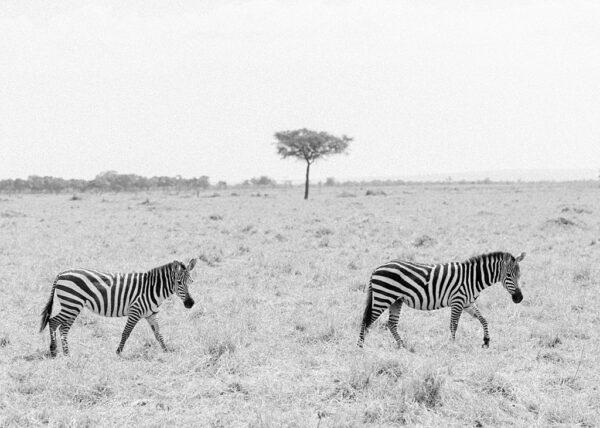 Zebra, Masai Mara, Kenya - Holly Clark Editions