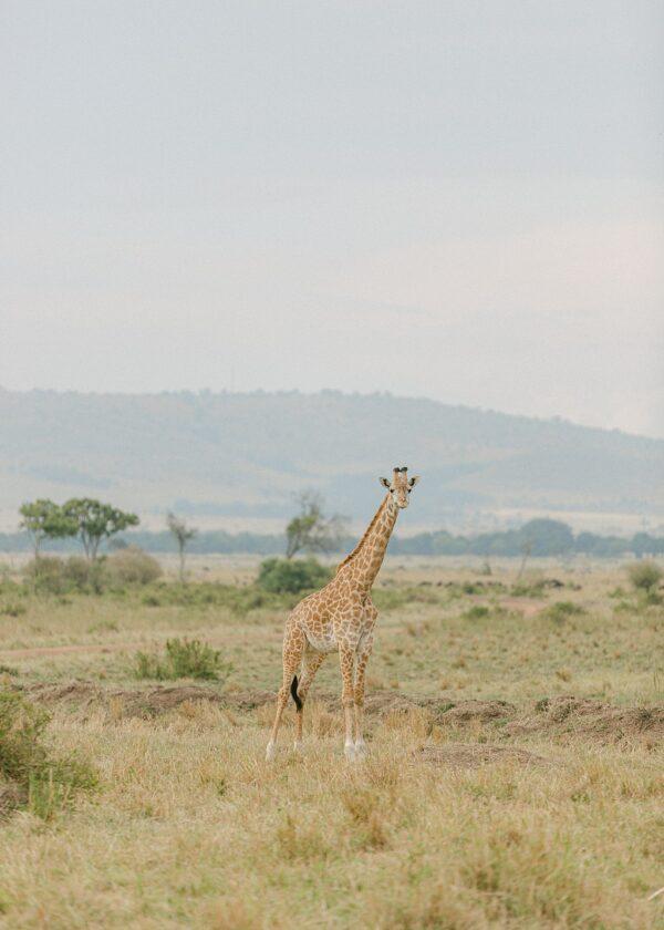Masia Mara, Kenya Giraffe - Holly Clark Editions