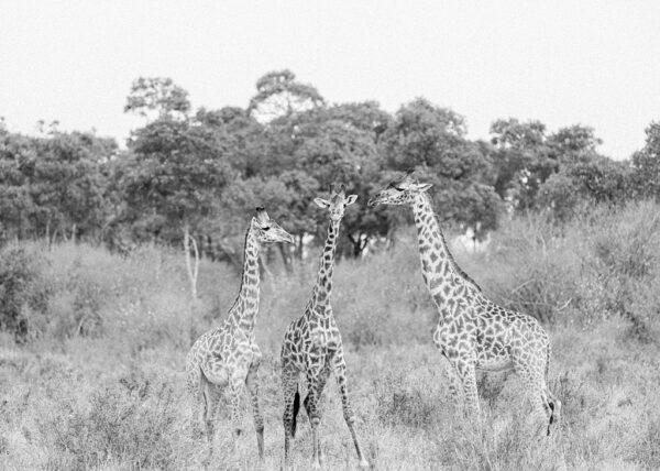 Trio of Giraffe, Masai Mara, Kenya - Holly Clark Editions