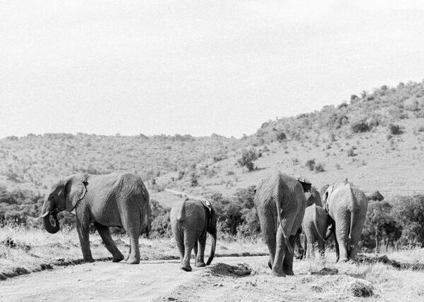 Elephants, Masai Mara, Kenya - Holly Clark Editions