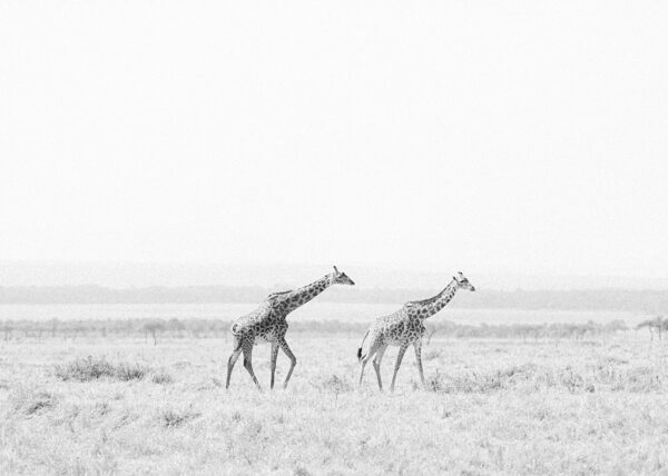 Duo of Giraffe. Fine Art Print. Holly Clark Editions.