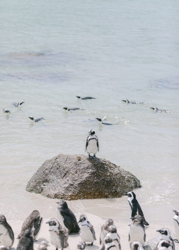 Boulders Beach Penguins | South Africa
