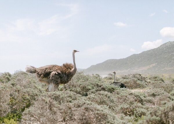 South Africa, Cape Point - Ostrich - Holly Clark Editions