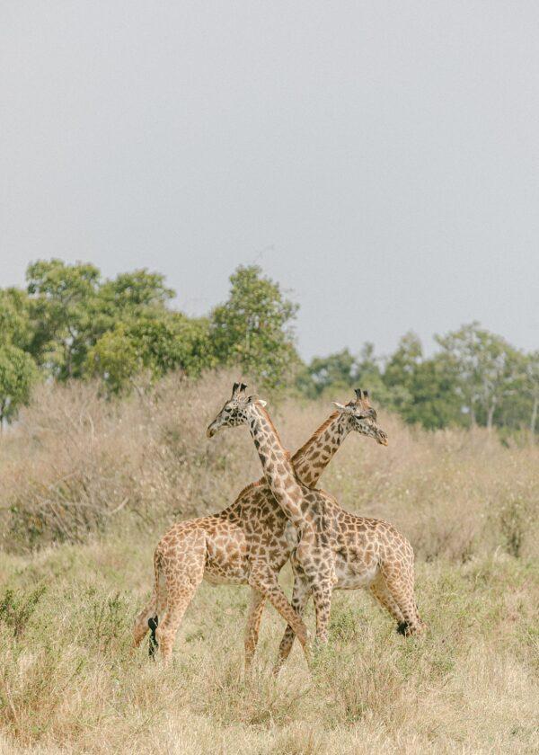 Giraffe, Masai Mara, Kenya - Holly Clark Editions