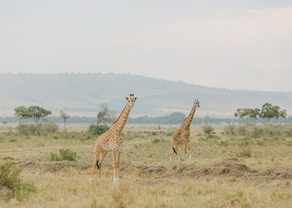 Giraffe, Kenya - Holly Clark Editions