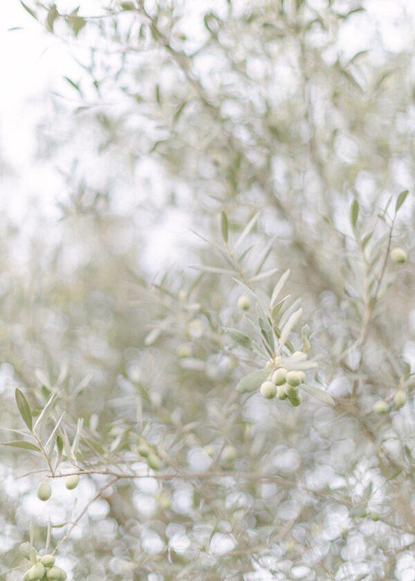Olive Grove Villa Cetinale - Holly Clark Editions