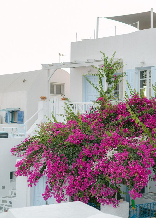 Bougainvillea in Santorini Photographs