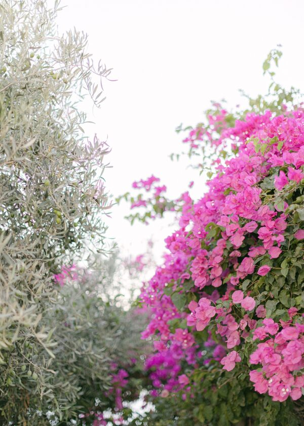 Bougainvillea and olive trees in Santorini Photographs