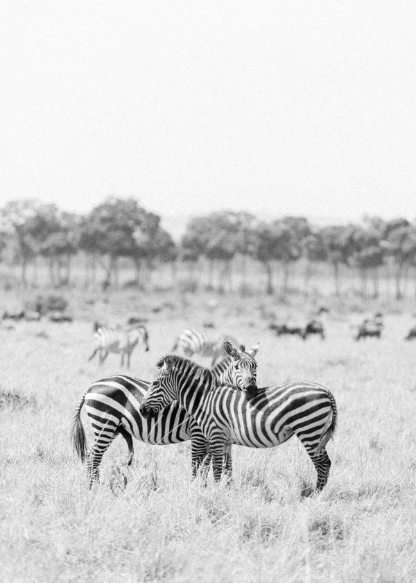 Hugging Zebra